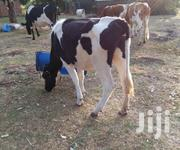 Heifers For Sale. | Livestock & Poultry for sale in Trans-Nzoia, Waitaluk