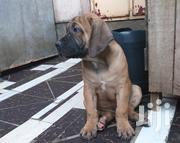 Male Boerboel Puppy | Dogs & Puppies for sale in Nairobi, Harambee