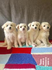 Beautiful Terriers For Loving Family Homes Only!   Dogs & Puppies for sale in Nairobi, Karen