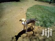 Castrated Indigenous Dog | Dogs & Puppies for sale in Nyeri, Karatina Town