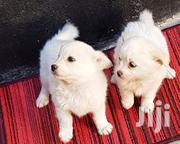 Japanese Spitz Female Puppies | Dogs & Puppies for sale in Nairobi, Harambee