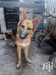 German Shepherd | Dogs & Puppies for sale in Kisumu, Central Kisumu