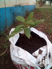 Avocados On Sale | Feeds, Supplements & Seeds for sale in Kisumu, Central Kisumu
