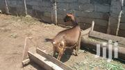Gala Goat Both Dairy And Young Ones | Other Animals for sale in Nandi, Nandi Hills