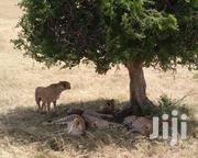 3 Days (2 Nights) Masai Mara Daily Trips   Travel Agents & Tours for sale in Nairobi, Nairobi Central