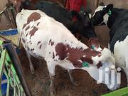 Cows For Sale | Livestock & Poultry for sale in Kiambu, Githunguri