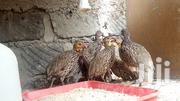 Spurfowls For Sale In Nairobi | Livestock & Poultry for sale in Nairobi, Kahawa West