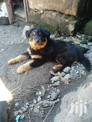 Rottweiler Puppy Ready for a New Home | Dogs & Puppies for sale in Nakuru, Lanet/Umoja