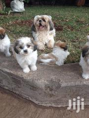 Shih Tzu Crossbreed Puppies | Dogs & Puppies for sale in Nairobi, Karen