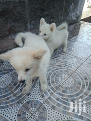 Eskimo Dog | Dogs & Puppies for sale in Nakuru, Biashara (Naivasha)