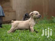 Pitbull Puppies | Dogs & Puppies for sale in Busia, Amukura Central