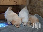 Japanese Spitz | Dogs & Puppies for sale in Mombasa, Mkomani