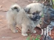 Maltese Dog | Dogs & Puppies for sale in Nairobi, Karen