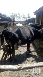 Freshian Cow Doing 11 Litres Available For Sale, Second Caving | Livestock & Poultry for sale in Nyandarua, Githabai