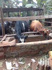 Cow   Livestock & Poultry for sale in Murang'a, Kangari