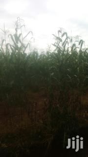 Green Maize For Silage | Feeds, Supplements & Seeds for sale in Nakuru, Molo