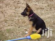 German Shepherd 5 Months Fully Vaccinated   Dogs & Puppies for sale in Machakos, Matungulu West