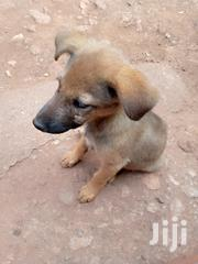 German Shepherd Dog - Male | Dogs & Puppies for sale in Nairobi, Karen