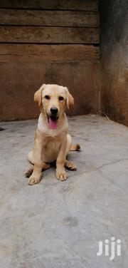 Pedigree Yellow Male Labrador Puppy For Sale | Dogs & Puppies for sale in Kajiado, Olkeri