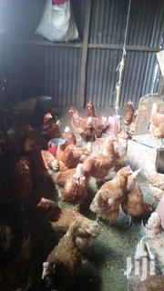 X Layers Kuku For Sale | Livestock & Poultry for sale in Nairobi, Nairobi Central