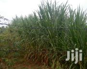 Napier Grass | Feeds, Supplements & Seeds for sale in Bungoma, Musikoma
