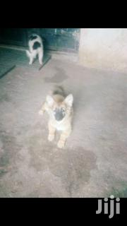 Brown German Shepherd Dog | Dogs & Puppies for sale in Machakos, Syokimau/Mulolongo