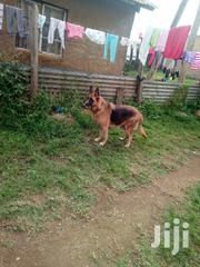 Short Coat Female Adult German Shepherd | Dogs & Puppies for sale in Kakamega, Mumias Central