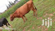 Dairy Cow Ayshire | Livestock & Poultry for sale in Nandi, Kabisaga
