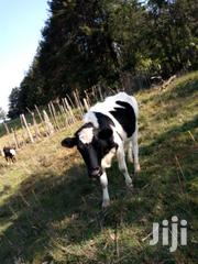 In Calf Pedigree Fresian Heifers | Livestock & Poultry for sale in Nakuru, Dundori