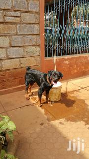 Rottweiler Puppies | Dogs & Puppies for sale in Nairobi, Roysambu