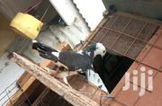Funnel Fairy Tailled | Birds for sale in Nairobi, Baba Dogo