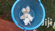 Japanese Spitz | Dogs & Puppies for sale in Nairobi, Roysambu