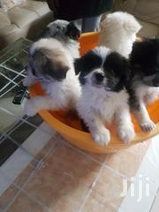 Japanese Spitz and Maltese Mix Puppies for Sale | Dogs & Puppies for sale in Nairobi, Mugumo-Ini (Langata)
