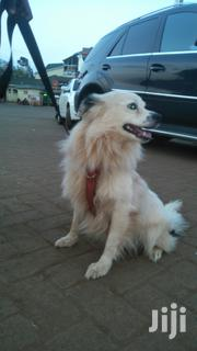 Selling a Japanesse Spitz Male | Dogs & Puppies for sale in Nairobi, Kitisuru