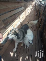 Siberian Huskies Purebred | Dogs & Puppies for sale in Nairobi, Kitisuru