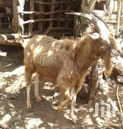 Dairy Goats | Other Animals for sale in Meru, Mbeu