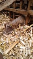 Dairy Goats | Other Animals for sale in Mbeu, Meru, Nigeria