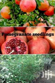 Pomegranate Fruit Seedlings | Feeds, Supplements & Seeds for sale in Kilifi, Malindi Town