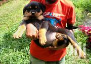 2 Puppies Need a Home | Dogs & Puppies for sale in Nairobi, Nairobi Central