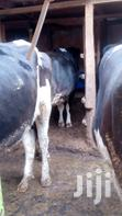 Inseminated Heifers | Other Animals for sale in Githunguri, Kiambu, Nigeria