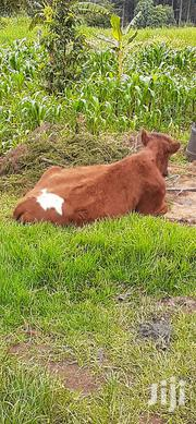 Pedigree Ayrshire Heifer On Sale | Livestock & Poultry for sale in Nyandarua, Charagita