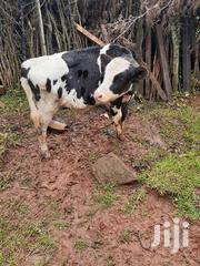 Frisian Heifers | Livestock & Poultry for sale in Nyandarua, Charagita