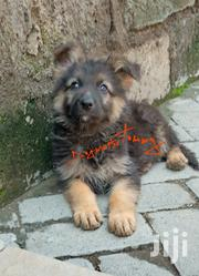 Longcoat German Shepherd Puppies | Dogs & Puppies for sale in Nakuru, Bahati