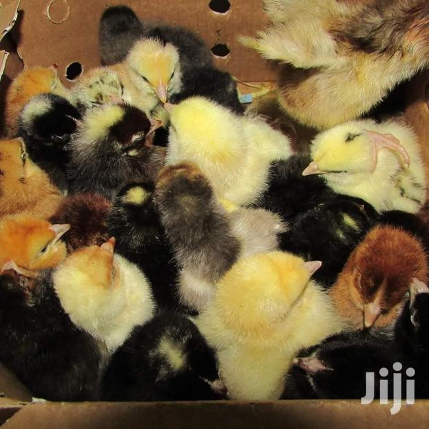 Archive: Day Old Chicks (Original Kuroiller F1)