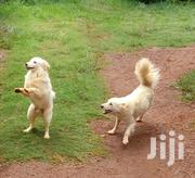 Chihuahuas Fully Vaccinated   Dogs & Puppies for sale in Nairobi, Ngara
