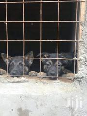 2 Months Old Vaccinated Puppies Available | Dogs & Puppies for sale in Nairobi, Harambee