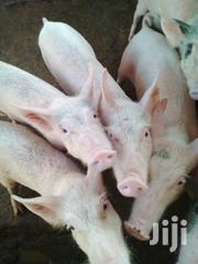 Pigs and Piglets for Sale in Juja | Other Animals for sale in Kiambu, Juja