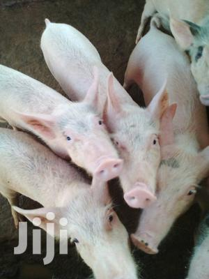 Pigs and Piglets for Sale in Juja