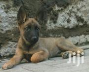 Dog's Belgian Malinois Puppys | Dogs & Puppies for sale in Nairobi, Eastleigh North