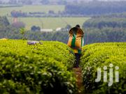 6 and Half Acres of Tea Farm for Sale in Githunguri 2.5m P.A | Land & Plots For Sale for sale in Nairobi, Nairobi Central